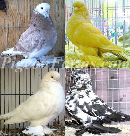 Pigeon tumblers sale