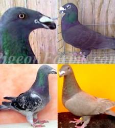 Exhotic Homerss Pigeons
