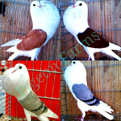 Reversewing pouter pigeon