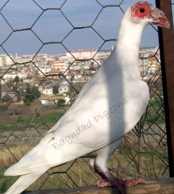 Bagdad Pigeons