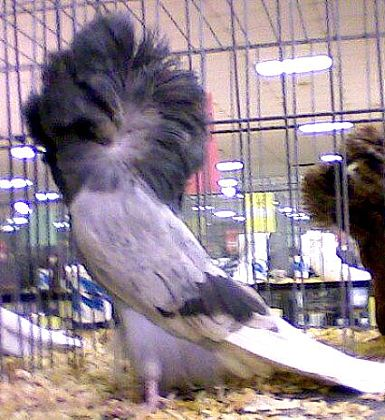 Blue Bar Jacobin Pigeons