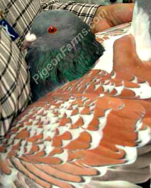 Cauchois Pigeons For Sale