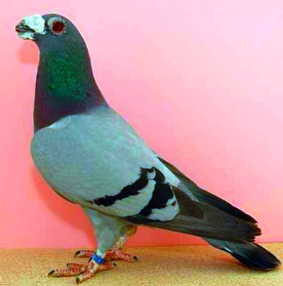 Dragoon Pigeons For Sale