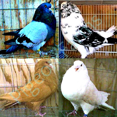 Giant Runt Pigeons For Sale - Pigeon Farms - Call (562) 235-1829