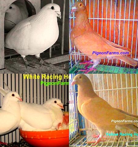 Racing Pigeons For Sale