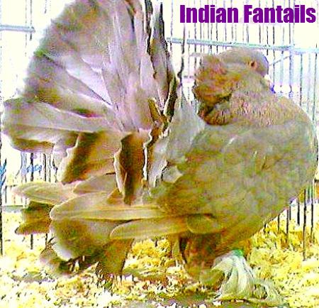 Indain Fantails