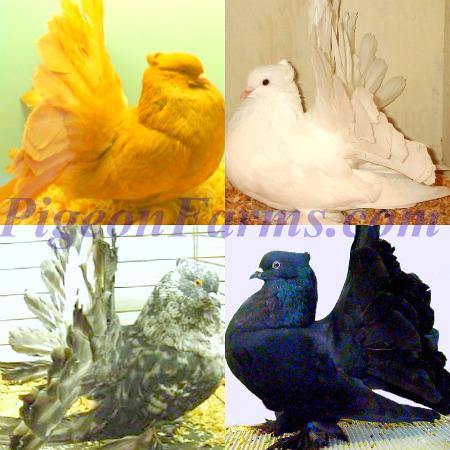 Indian Fantails Pigeons