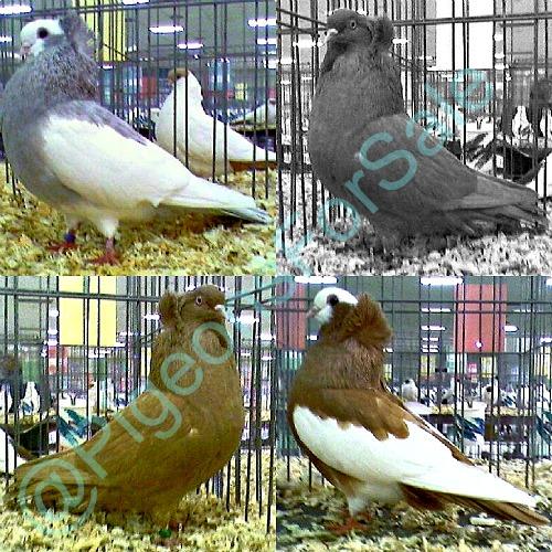Komorner Tumbler Pigeons For Sale