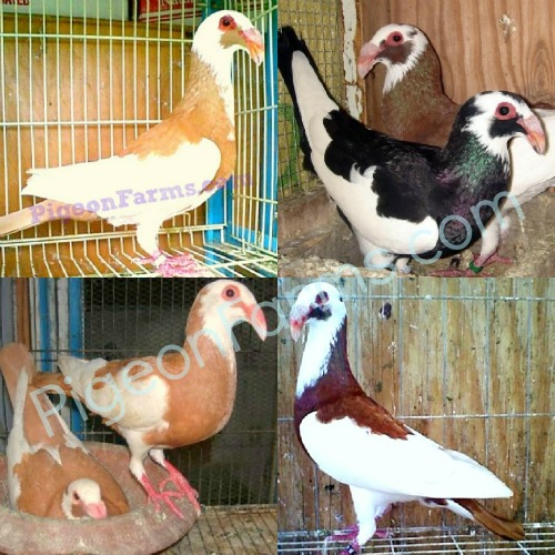 Scandaroon Pigeons for Sale www.Scandaroons.com